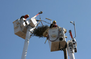 Setting the osprey nest in the new nest box